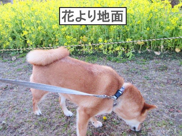 柴犬 菜の花