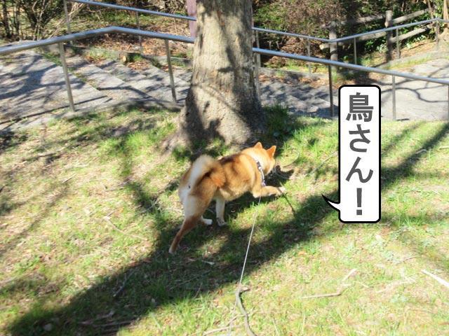 柴犬 狩り 本能