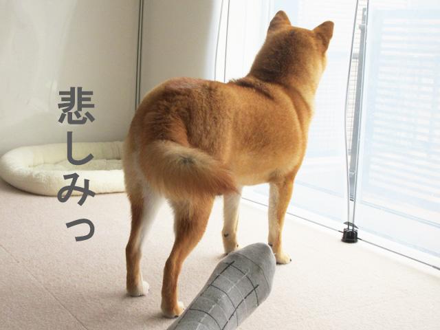 柴犬 尻尾