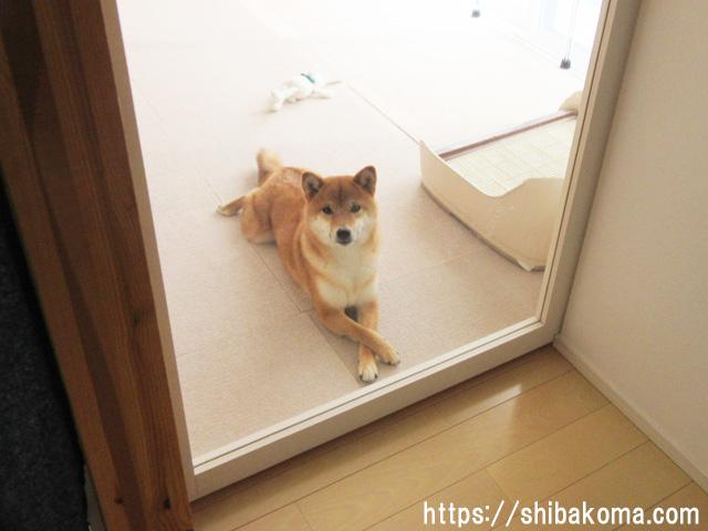 柴犬 クロス