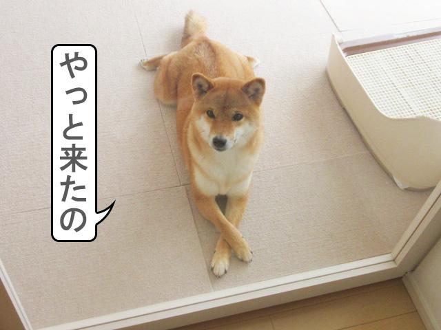 柴犬コマリ 来た