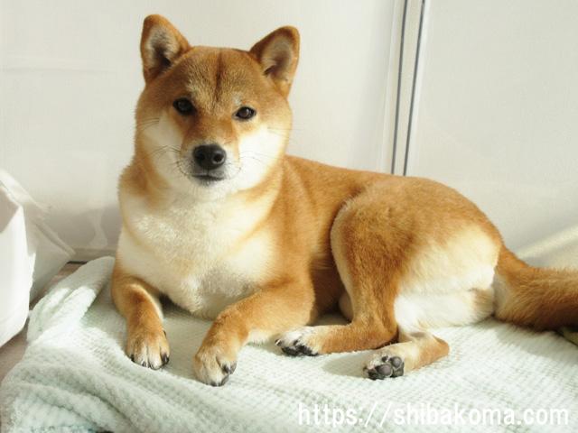 柴犬コマリ ホットマット