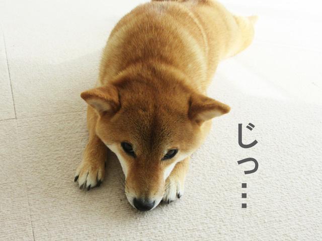 柴犬 ツチノコ