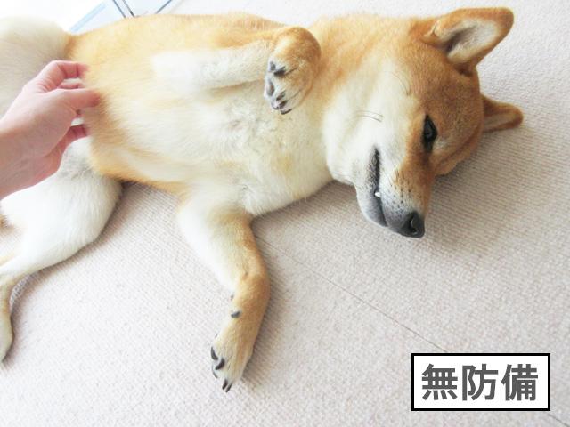 柴犬コマリ 無防備