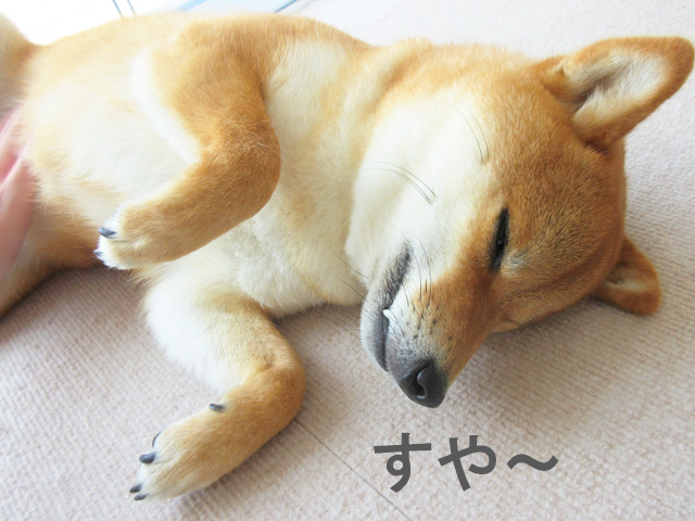 柴犬コマリ マッサージ