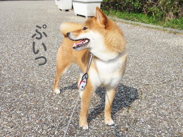 柴犬コマリ 塩対応