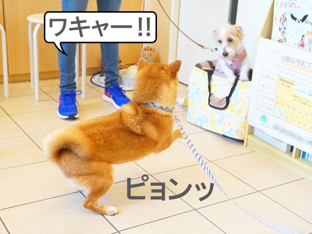 柴犬 しつけ教室