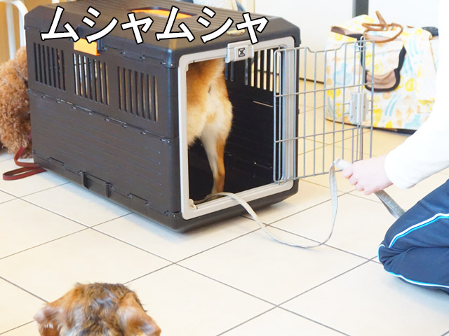 柴犬コマリ クレートトレーニング
