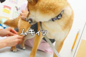 柴犬コマリ 動物病院 フィラリア検査