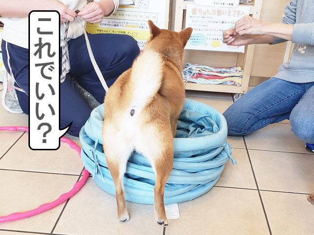 柴犬コマリ しつけ教室 動物病院