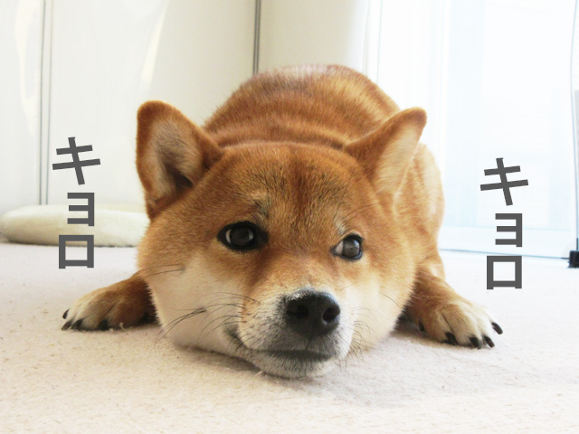 柴犬コマリ キョロキョロ