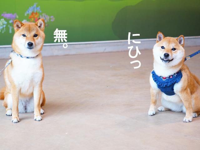 柴犬コマリ こまめちゃん
