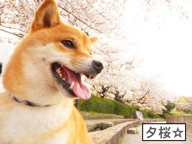 柴犬コマリ 桜