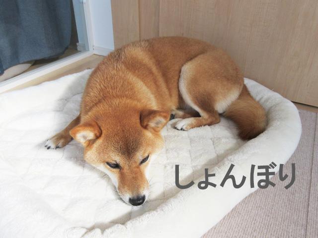 柴犬コマリ しょんぼり