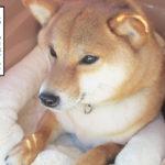 柴犬コマリ 車 クレート