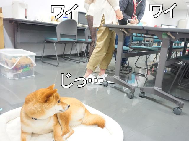 柴犬コマリ 静岡テレビ Soleいいね