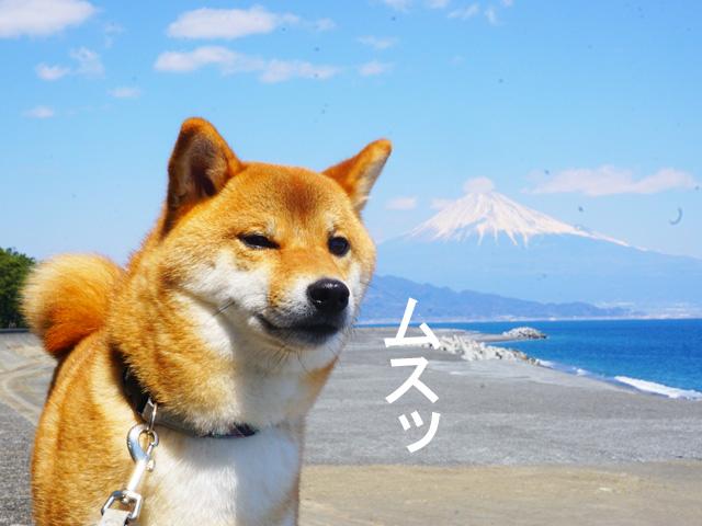 柴犬コマリ 三保の松原 富士山