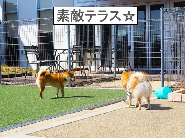 柴犬コマリ 浜松SA ドッグラン