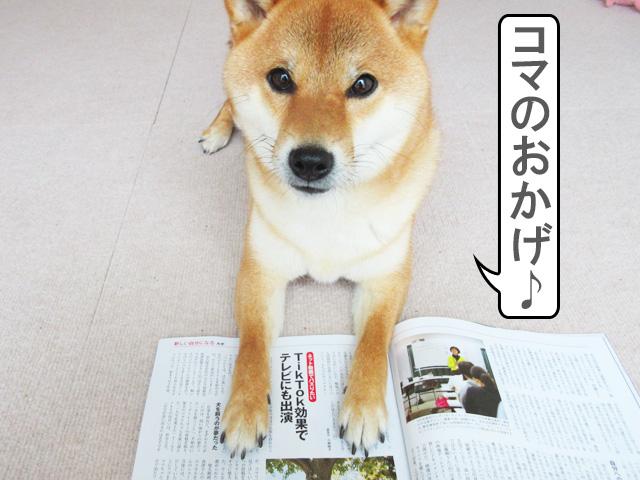 柴犬コマリ aera tiktok