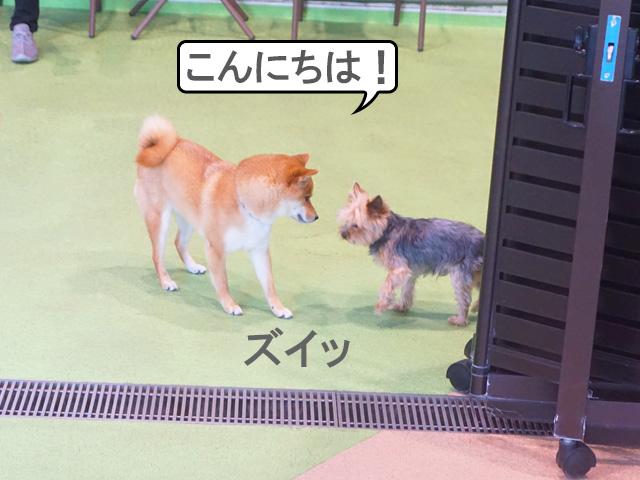 柴犬 ドッグラン