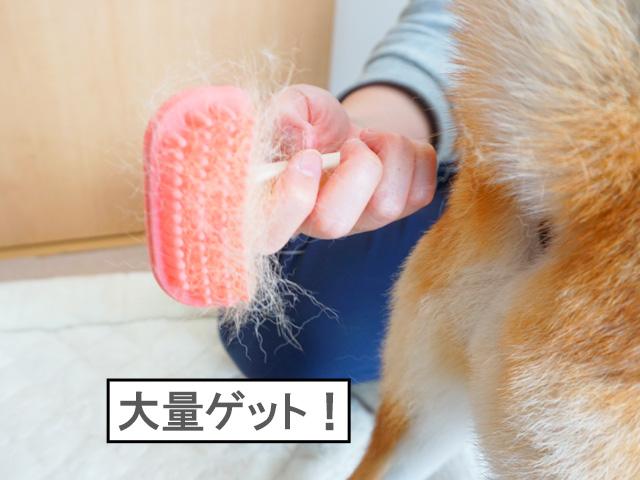 柴犬コマリ 換毛期 ブラシ