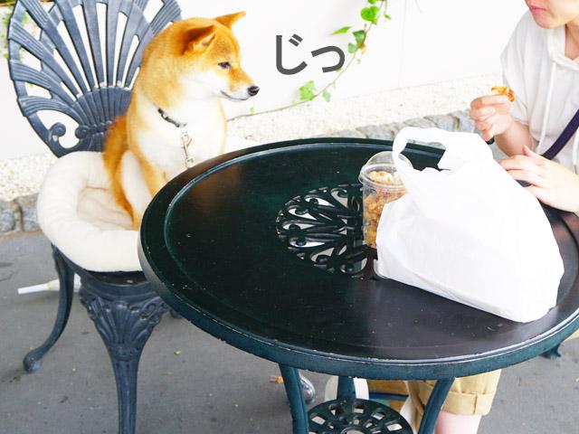 柴犬コマリ 御在所 鶏三和
