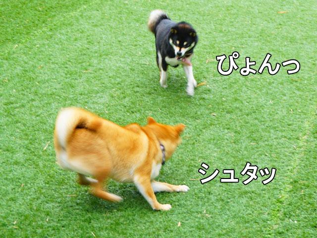柴犬コマリ 御在所 ドッグラン