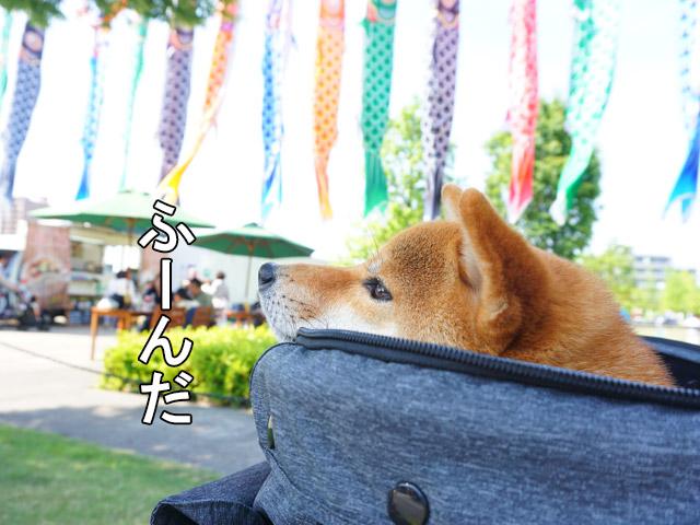 柴犬コマリ ノリタケの森 鯉のぼり