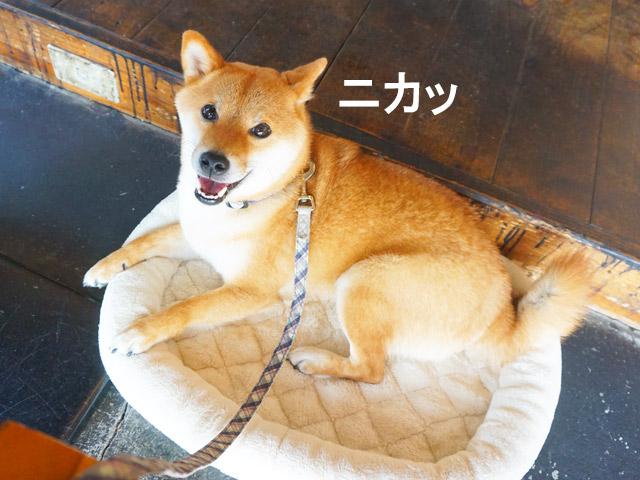 R.seed cafe アールシードカフェ 柴犬コマリ