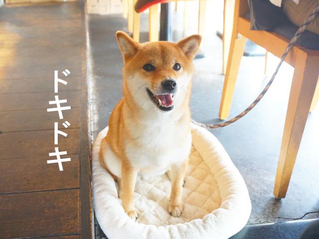 柴犬コマリ R.Seed cafe アールシードカフェ