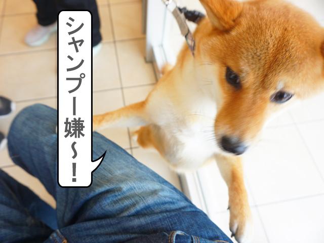 柴犬コマリ シャンプー 動物病院