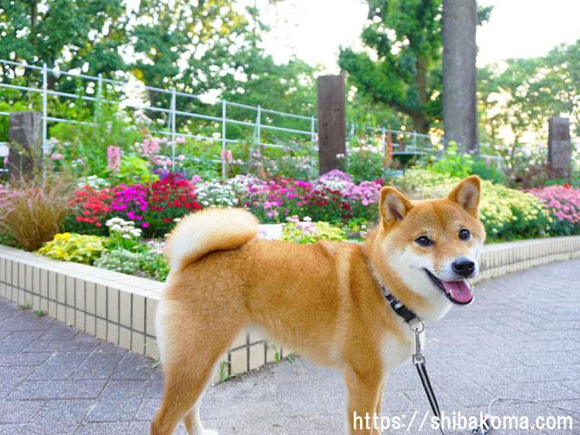 柴犬コマリ 名城公園 フラワープラザ