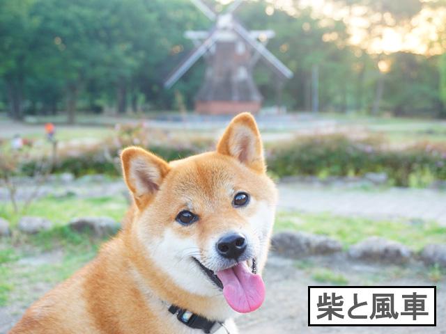 柴犬コマリ 名城公園 オランダ風車