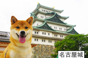 柴犬コマリ 名古屋城